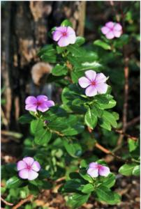 periwinkle plant makes procera avh
